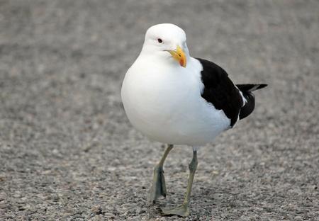 stroll: Seagull taking a stroll