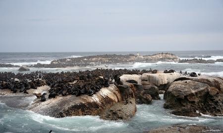 robben island: Seals on Robben Island, South Africa