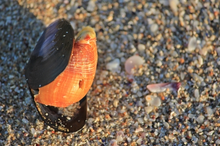 mussel: Seashell on the Beach Stock Photo