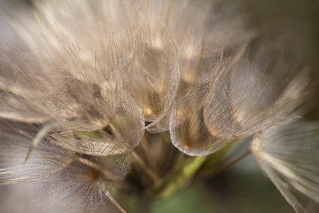 Macro photography of wild flower - Salsify major (Tragopogon dubius)