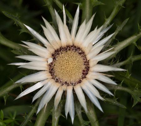 Macro photography of wild flower - Carline acaule (Carlina acaulis)