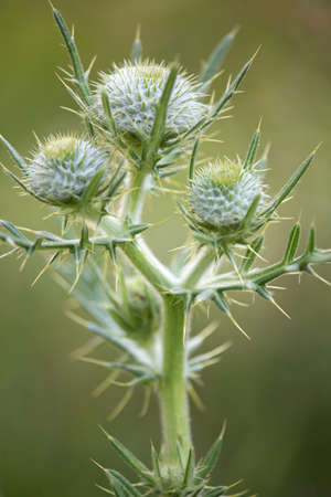 Macro photography of wild flower - Woolly cirse (Cirsium eriophorum)