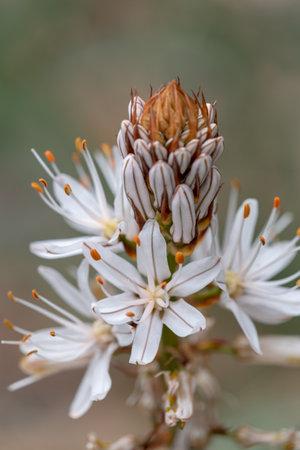 macro photography of wildflowers - White asphodel (Asphodelus albus)