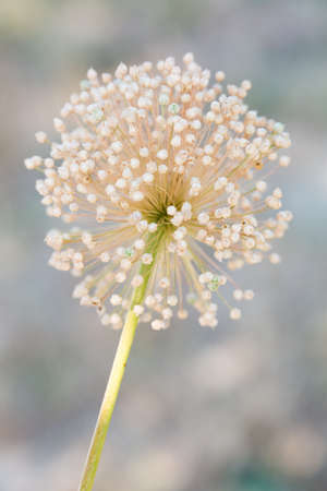 macro photography of wildflowers - Pale garlic (Allium coppoleri)
