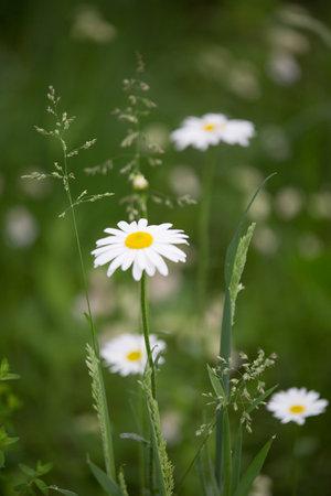 macro photography of wild flowers-Large daisy (Leucanthemum vulgare)