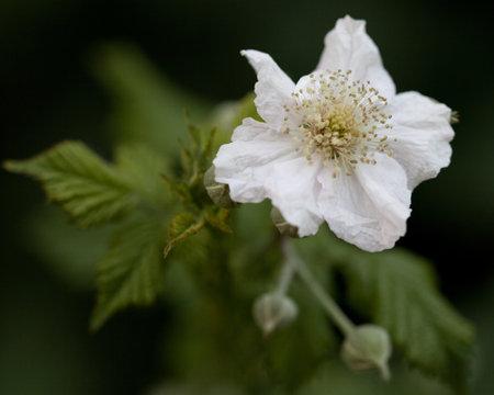 macro photography of wildflowers-Bramble flower (Rubius fruticosius)