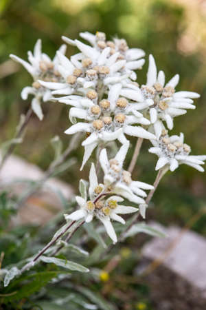 macro photography of wild flowers-Edelweiss (Leontopodium alpinum)