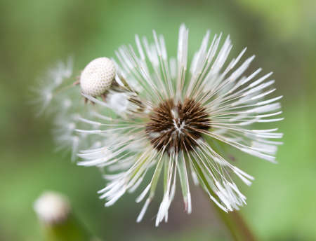 macro photography of wildflowers - Dandelion pappus