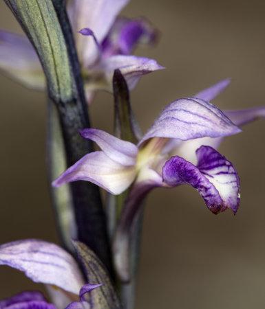 macro photography of wildflowers - Aborted leaf limodore (Limodorum abortivum)