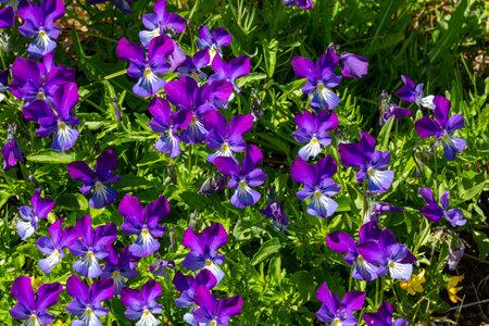 macro photography of wildflowers - Sudeten violet (Viola lutea elegans)
