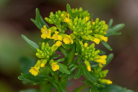 macro photography of wild flowers - Intermediate Barbarea (Barbarea intermedia Boreau)