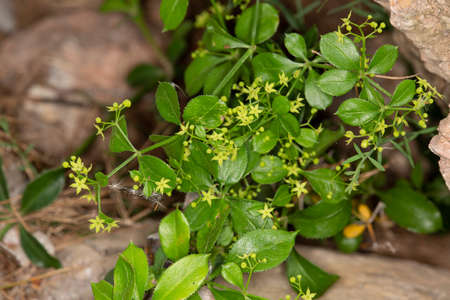 macro photography of wild flowers-Traveling Madder (Rubia peregrina)