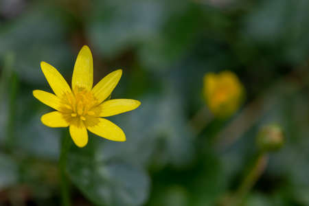 macro photography of wild flowers-Ficaria (Ficaria verna)
