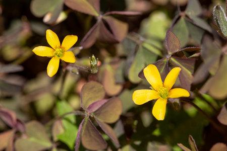 macro photography of wildflowers - Oxalis corniculata (Oxalis corniculata)