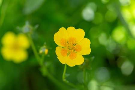 macro photography of wild flowers - Golden Cinquefoil (Potentilla aurea)