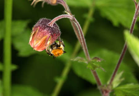 macro photography of wildflowers - Benoite des streams (Geum rivale) Stockfoto