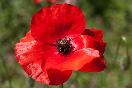 macro photography of wildflowers - Poppy (Papaver rhoeas) Stockfoto