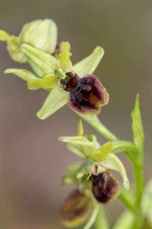 Macro photography of wildflowers - Bee Orphrys (Ophrys apifera)