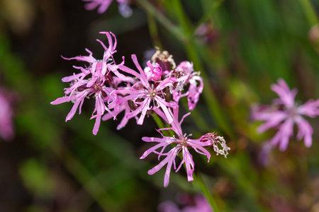 Macrophotography of wildflowers-Lychnis flos-cuculi