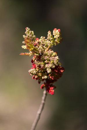 Macro photography of wild flowers- (Pistacia terebinthus