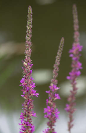 Macrophotography of wild flowers-Lythrum salicaria