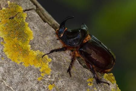 Macro photography of an insect-Rhinoceros beetle (Oryctes nasicornis)