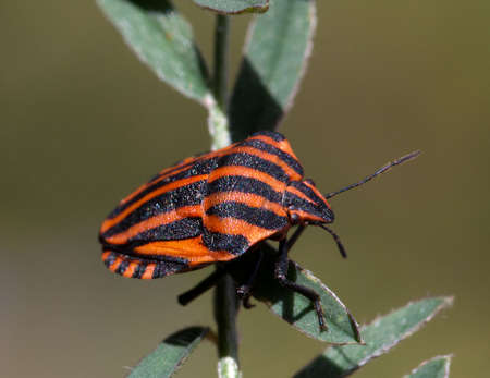 Macrophotography of a Rayed Pentatomine Insect (Graphosoma lineatum)