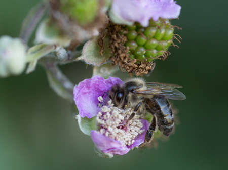 Macro photography of an insect-European bee (Apis mellifera)