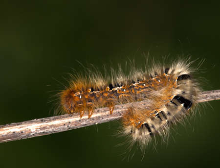 Macrophotography of an Oak Bombyx Insect (Lasiocampa quercus)