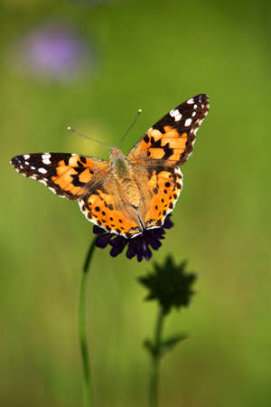 Macrophotography of an insect-Belle dame (Vanessa cardui)