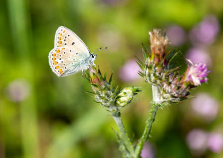 Macro photography of a Celestial Blue Argus Insect (Polyommatus bellargus)