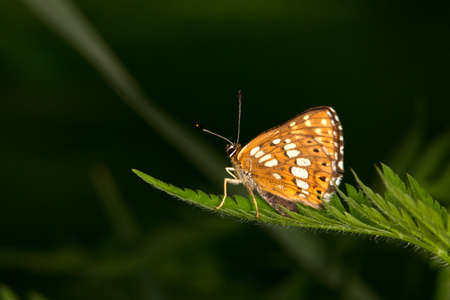 Macro photography of an insect-Lucine (Hamearis lucina)
