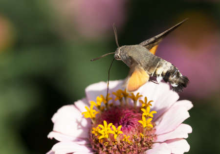 Macro photography of an insect-Moro sphinx (Macroglossum stellatarum)