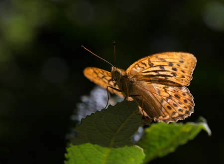 Macrophotography of a Spanish Tobacco Insect (Argynnis paphia) Stock Photo
