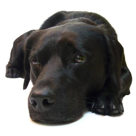 sad black dog labrador retriever on white background