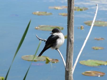 nenuphar: beautiful bird on a tree in a swamp