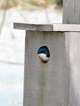 een zwaluw vogel in zijn vogelhuisje Stockfoto