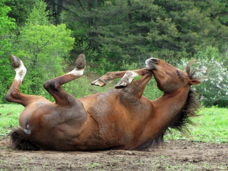 Horse in the mud, hoofs in the air