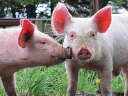 piggish: pigs kiss Stock Photo