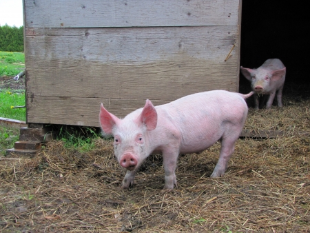hoggish: pig at the farm out of the pig sty