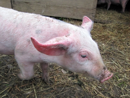 hoggish: pig at the farm in the hay