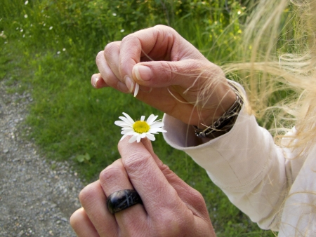 hand tear the petals of a daisy flower Imagens