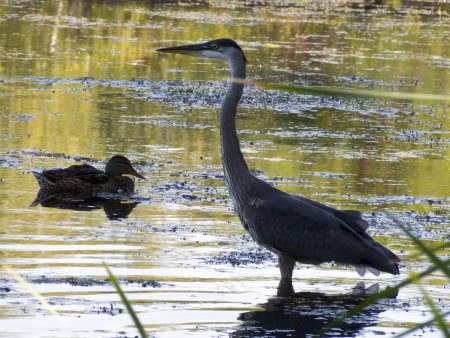 morass: great Blue Heron with duck