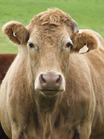 jersey cow: jersey cow