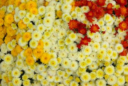 flower        petal: many white yellow and red flowers filling the image Stock Photo