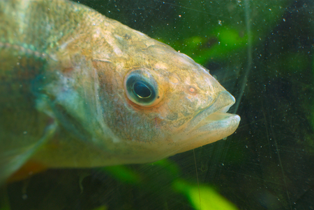 brook trout: river fish under water view close up