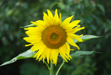 centered: big yellow sunflower centered on dark background