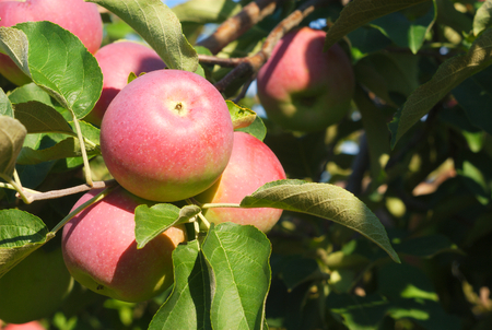 paula: paula red apples in tree, orchard branch