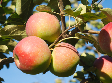 paula: apples in tree, orchard branch paula red Stock Photo
