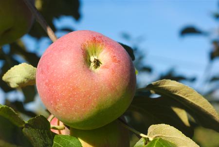 to paula: apple tree orchard paula red